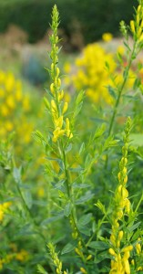 Flower of genista tinctoria