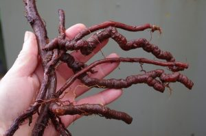 DP madder root in the hand