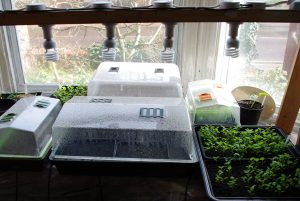 Dye plant seedlings indoors