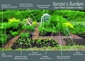 The Natures Rainbow Dye Garden, Hitchin, May 2016