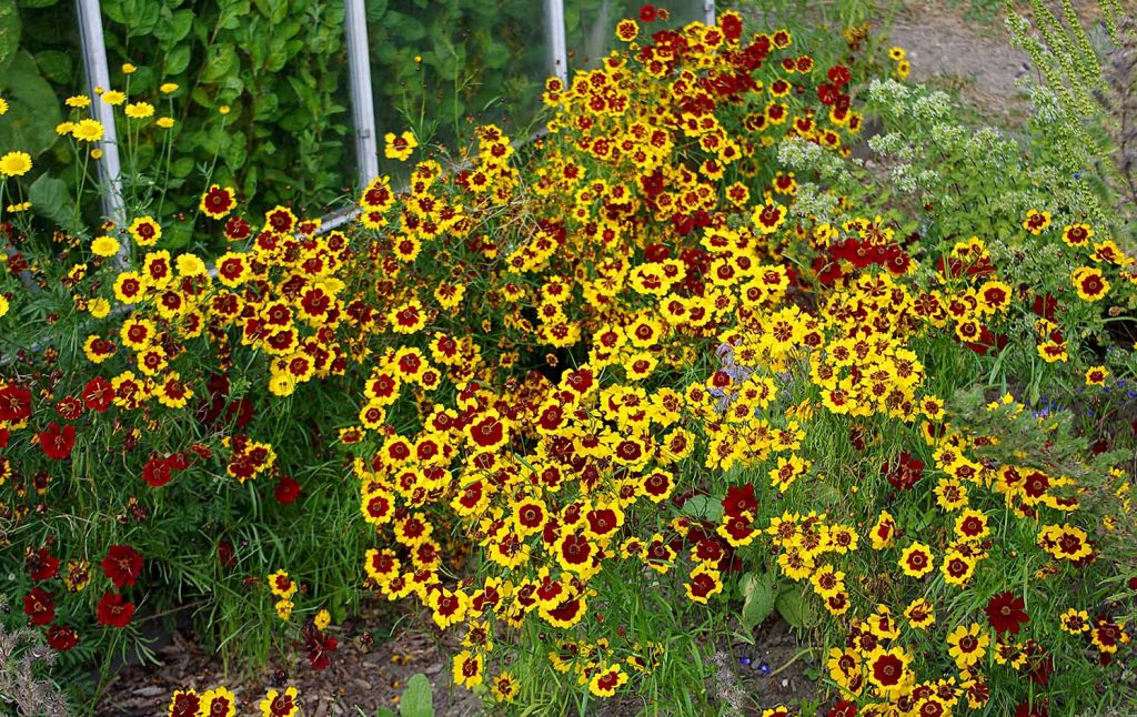 Dyer's Coreopsis in full flower