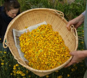 dyers-chamomile-harvest2