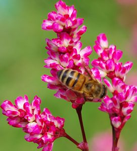 Persicaria tinctoria flower with honey bee