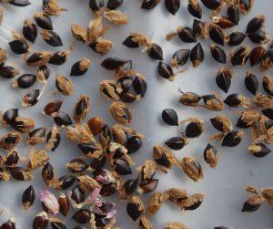 Persicaria tinctoria seed