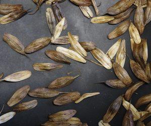 Isatis tinctoria seeds