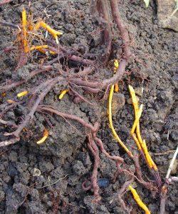 Rubria tinctorium
