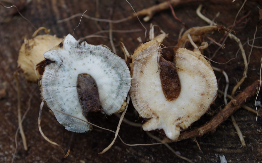 Inula helenium treated woth iron mordant