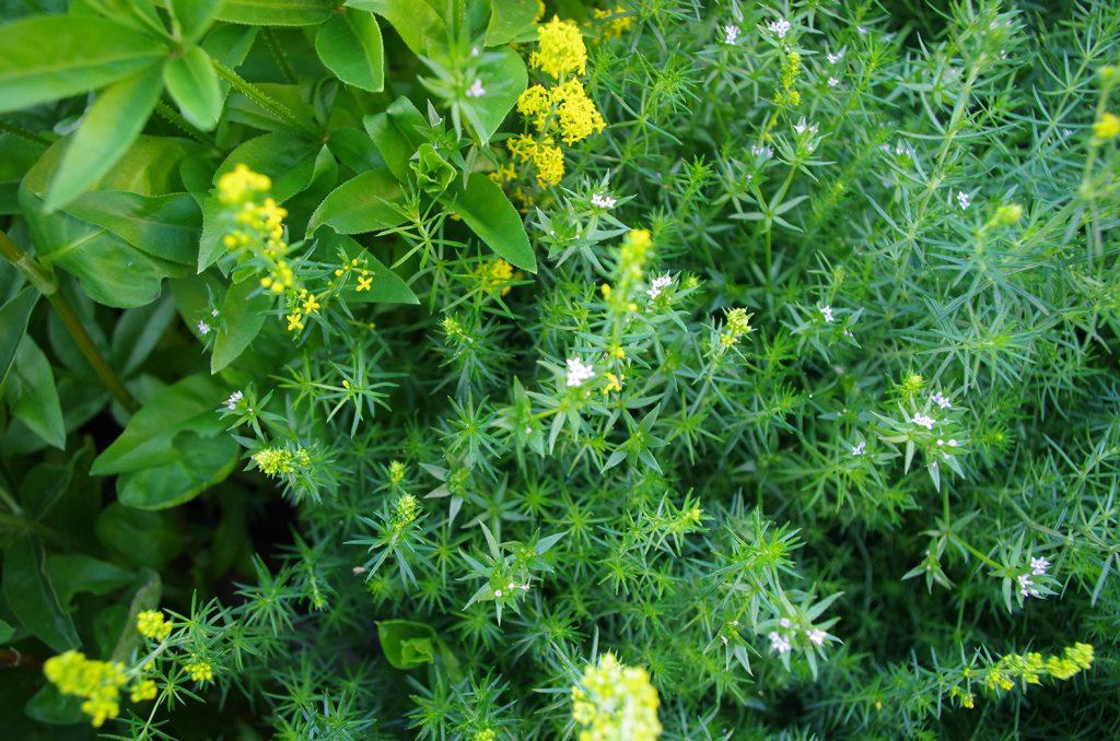 Rubiaceae. Rubia tinctorum, Sheradia arvensis, Galium verum and Asperula tinctoria