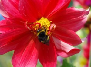 Dahlia with Bumble