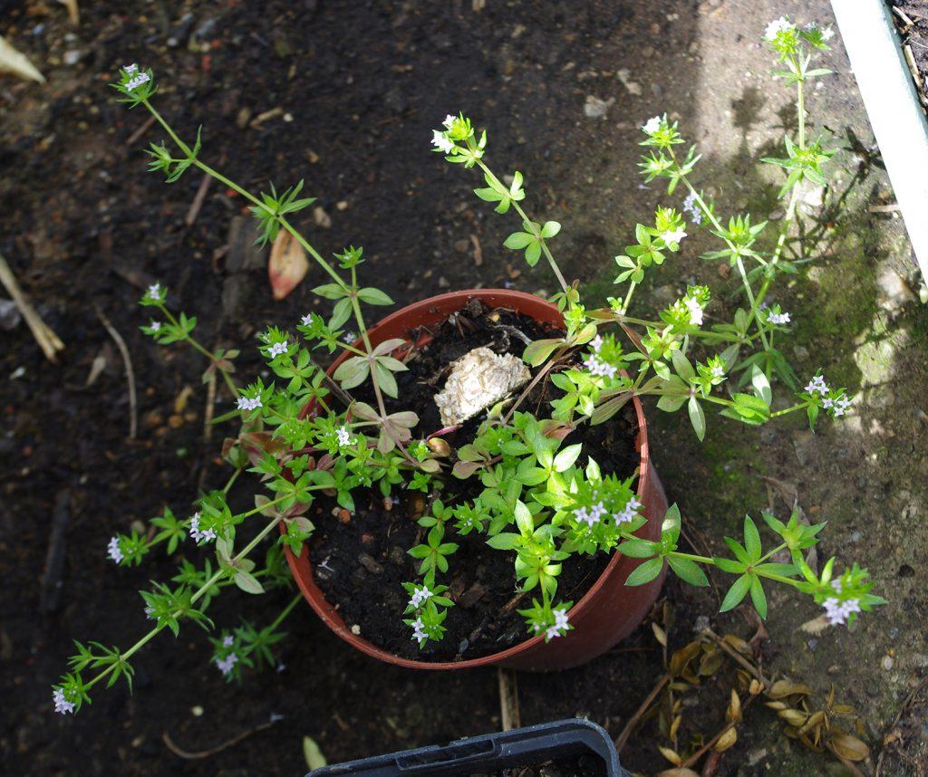 Sheradia arvensis