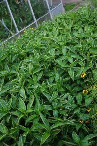 Persicaria tinctoria - Long Leaf variety