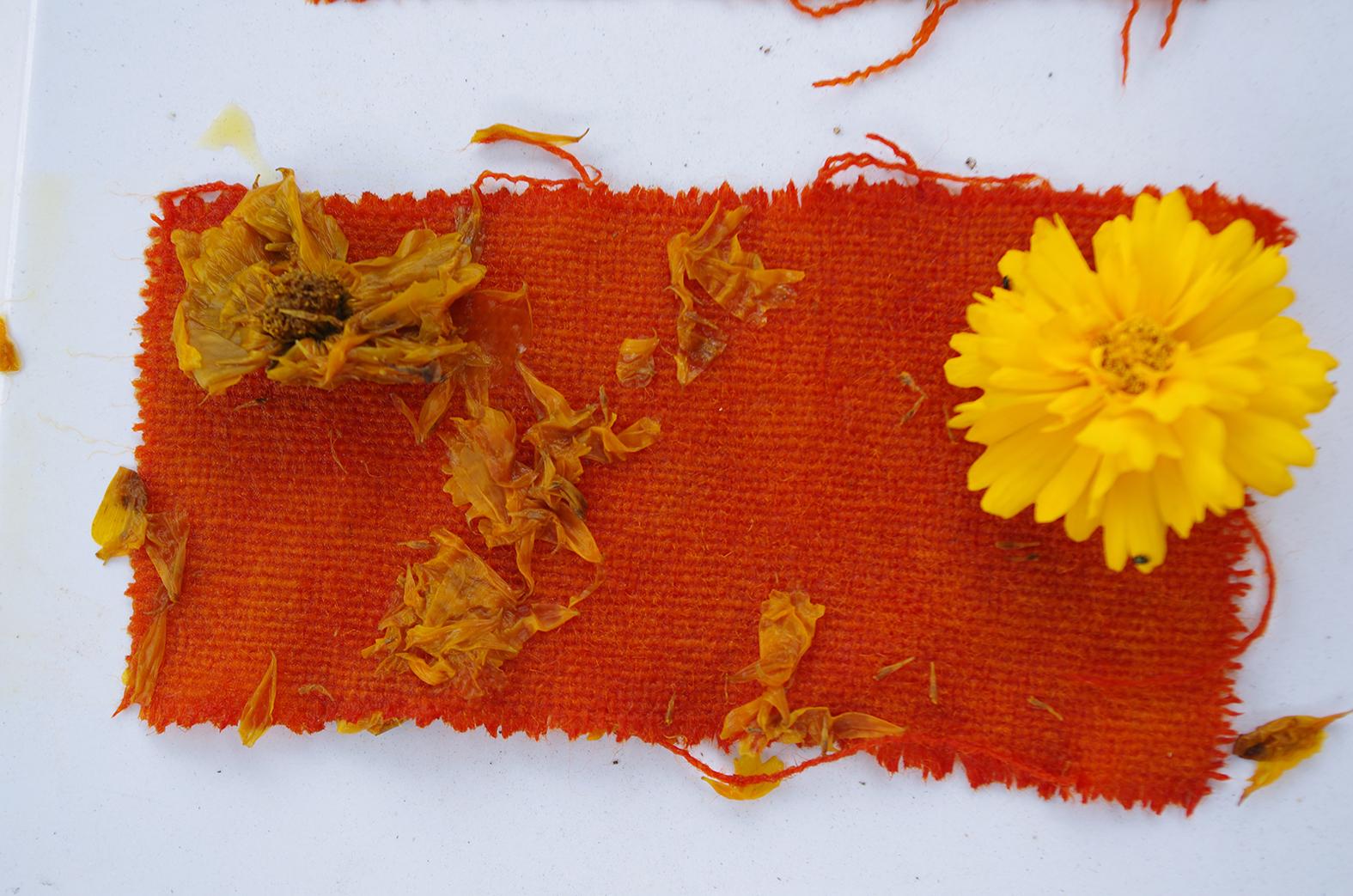 Dyer's Alkanet | susan dye