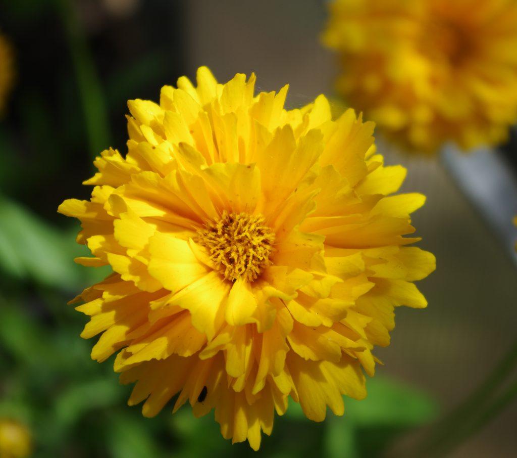 Coreopsis grandeflora