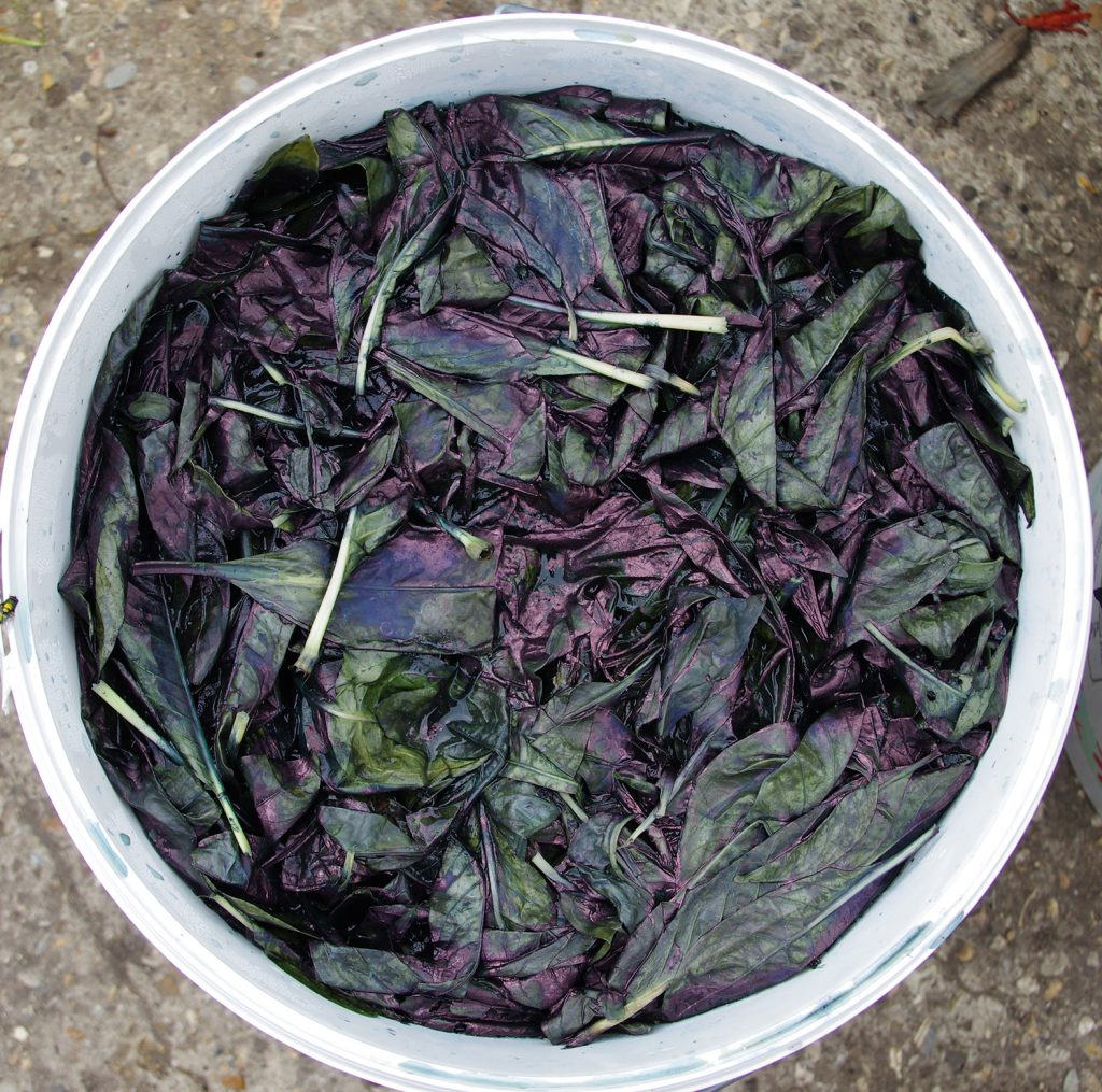 Indigo extraction from Persicaria tinctoria