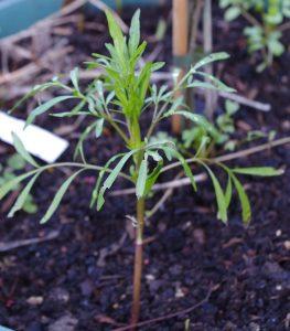 Coreopsis tictoria seedling