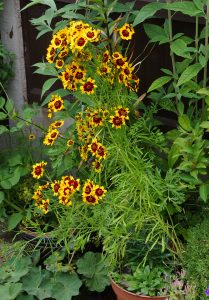 Coreopsis tinctoria pot grown