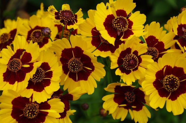 Coreopsis tinctoria in flower