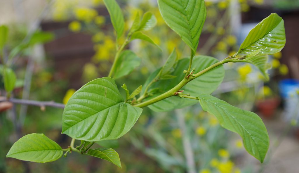 "Alder Buckthorn Rhamnus frangula. New shoot showing ""alder "" shaped leaves and blossom buds."