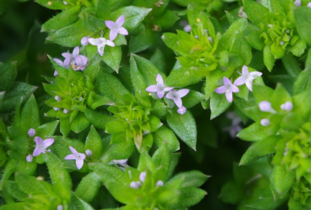 Field Madder plant showing tiny pink four petaled flowers