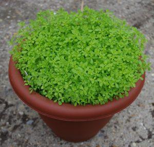 Hedge Bedstraw Galium mollugo