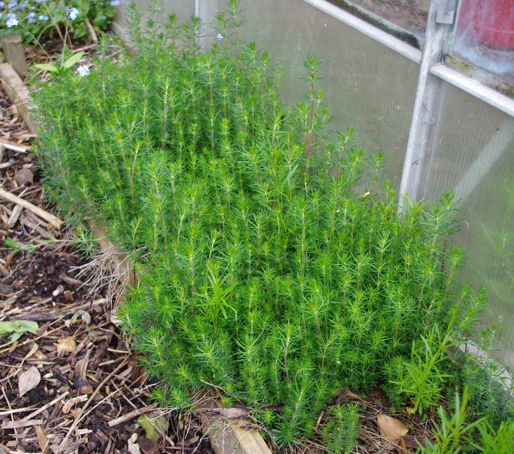 Feathery green clumps of Ladies Bedstraw Galium verum growing next to the greenhouse.