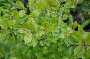 New growth of Purging Buckthorn Rhamnus cathartica