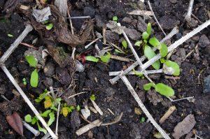 Madder Seedlings Rubia tinctorum