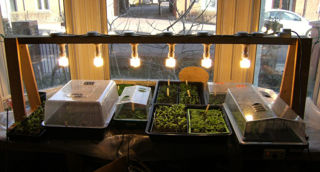 "shows seeds being propagated with extra lighting supplied by a rack of flourescent bulbs. Purpose is to boost light levels to stop seedlings becomming ""leggy"" and also to increase day length"