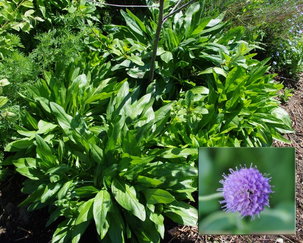 Shows Devil's Bit Scabious plant in early June with lush green leaves but not yet in flower. Inset is blue composite flower from previous year