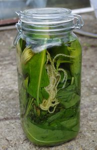 Shows jar filled with leaves of Devil's Bit Scabious, water with a bit of soda ash added and wool yarn.