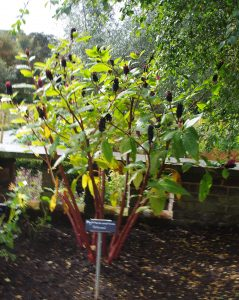 A Large American Pokeweed plant growing in the Hornimams museum dye plant garden showing upright short racemes of ripe berries