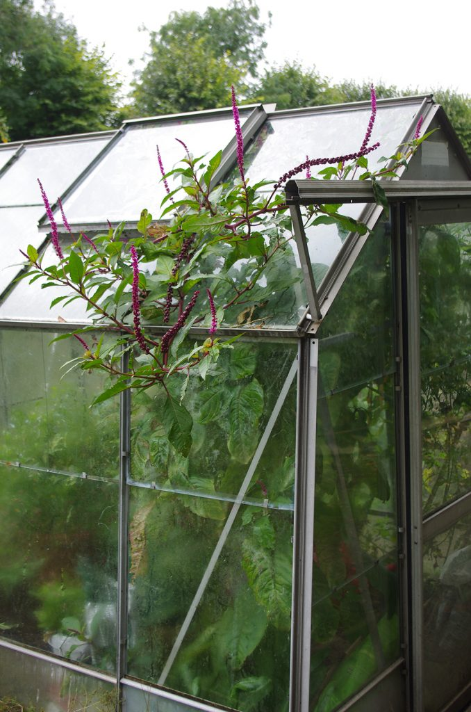 The pokeweed plant was so vigorous it had escaped through the greenhouse window