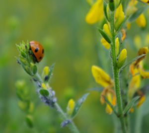 shows red ladybird eating aphid pests