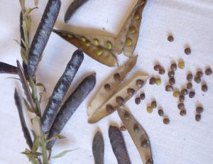 to show the seeds and seed pods of the plant