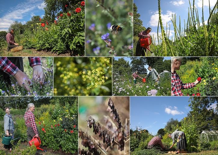 Dye garden in June