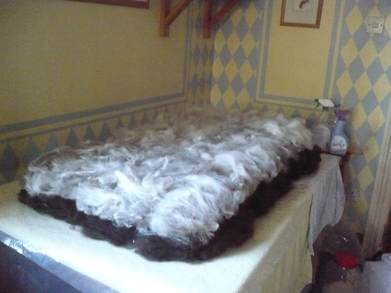Hebridean and shetland fleece laid out for felting