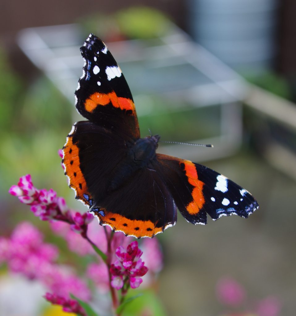 Red Admiral Butterfly. Black with Red and White markings on Japanese Indigo Flower