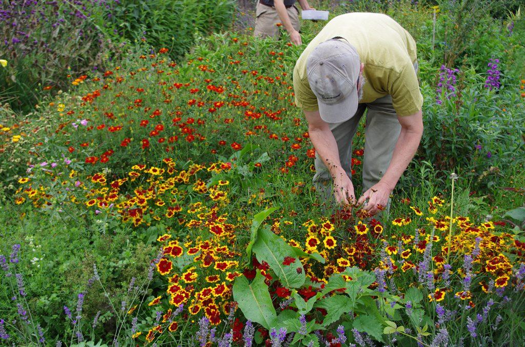Brian picking Coreopsis flowers at Schumacher College Dye plant garden.