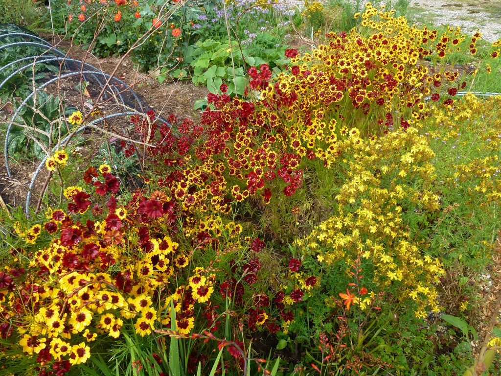 Oranges reds and yellows in a lush display of Coreopsis tinctoria flowers at Brian and Richards Devon home in 2020.