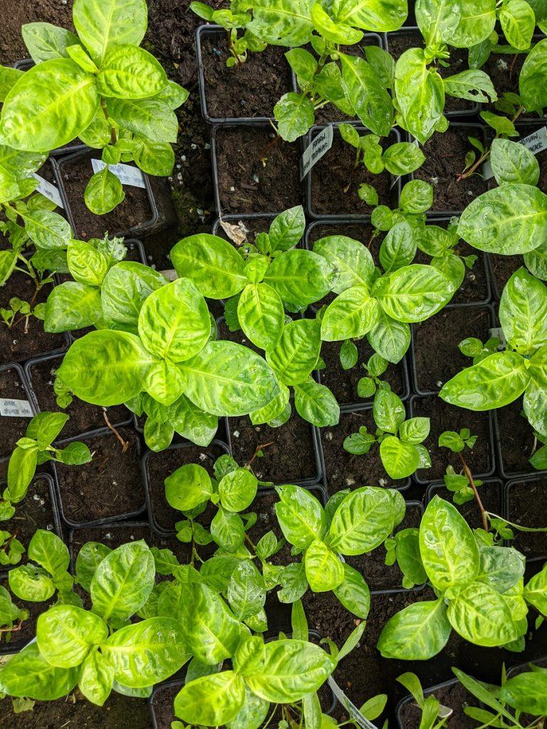 Japanese Indigo seedlings