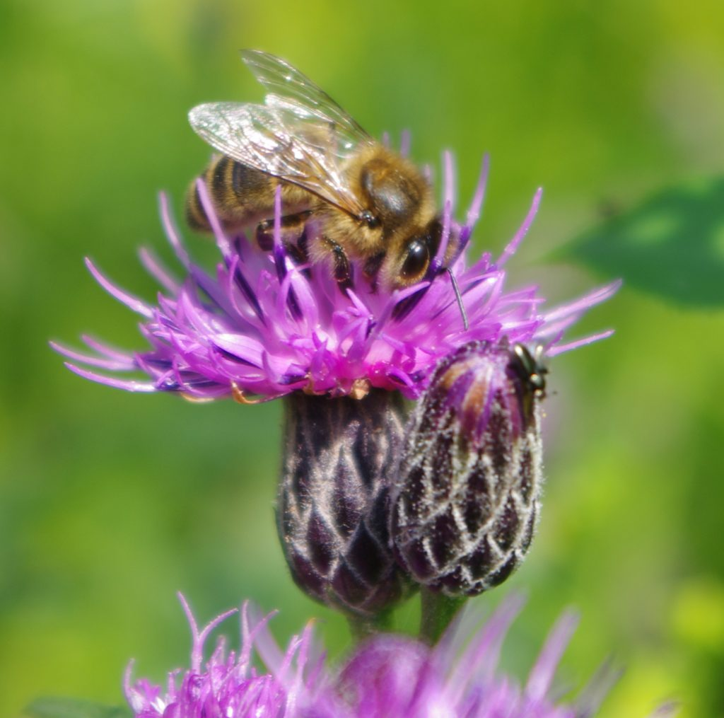 A Honey Bee with its head into the top of a purple Saw-wort flower