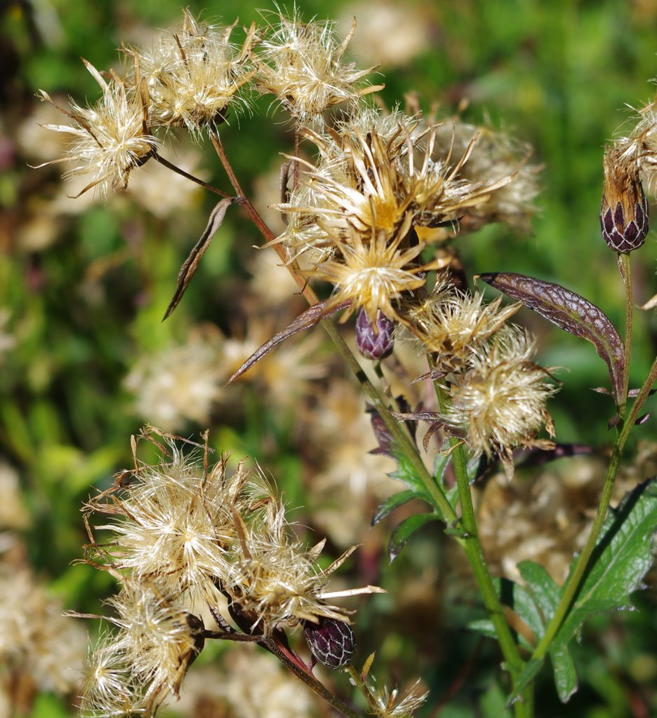 seed heads with fluffy parachute seeds