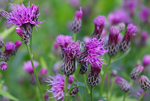 """Purple thistle like flower with distinctive """"scales"""" around the flower bud"""